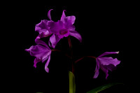 Guatemala Is The Orchid Country