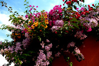 Colorful Bougainvilleas from Antigua Guatemala